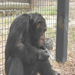 Scooter, a chimpanzee, enjoys a frozen treat.