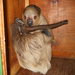 Gilbert is a two-toed sloth. Chances are good you'll find him sleeping in his hide box.
