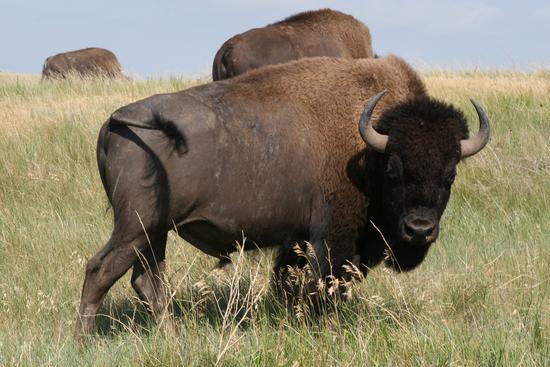 Size 550x415 bison  dale%20rehder