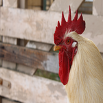 Roosters Rule: A September Sanctuary Sponsor-a-thon
