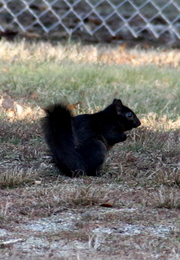 Size_550x415_black%20squirrel