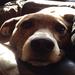Pappy the plott hound