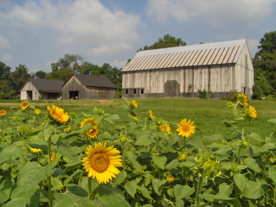 Size_550x415_1%20barns%20with%20sunflowers%20-%20roshani%20kothari%200805