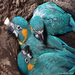 Blue-throated Macaw juveniles in the nest. ©  Alexander Pari Chipana