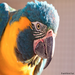 Blue-throated Macaw, soon to be released to the wild.  ©  World Parrot Trust