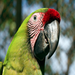 Great Green Macaw in Costa Rica ©  Steve Milpacher