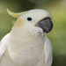 Adult Yellow-crested Cockatoo. ©  Jamie Gilardi