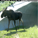 There are more injuries with moose encounters thany any other wild animal in North America.