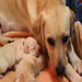 Hettie, a yellow Labrador retriever, gave birth to 6 healthy puppies during the power outage from Hurricane Sandy.