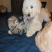 "...what a difference a few months, nursing care & RAZOO donors make! Cinderella plays with her Labradoodle ""sister"""