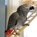 One of our mascots (and certainly the most spoiled!) Doc the African Grey Parrot!