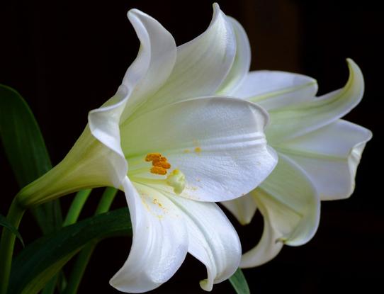 Size 550x415 white lilies