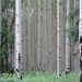Aspen grove, help us preserve our forests with our Plant A Tree campaign!