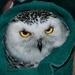 It took 5 people to get this snowy owl to the center for medical care.
