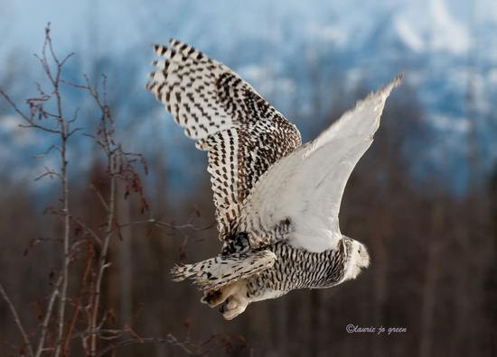 Size_550x415_8_snowy-takeoff_ljg0589