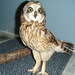 Short Eared Owl  from KGB is now a teaching bird for the public. He can not be released.