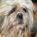 A little ol' Lapso Apso who was lost, scared, matted, & had a infected K9 & could not eat.