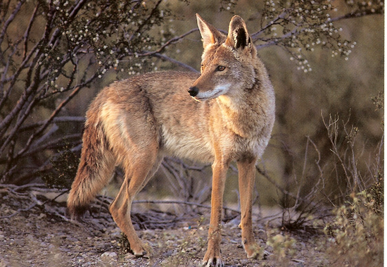 Size_550x415_coyote11