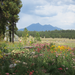 A view of the San Francisco Peaks from the Pollinator Garden