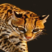 Conspire Theatre Pub Quiz Challenge: THE OCELOTS