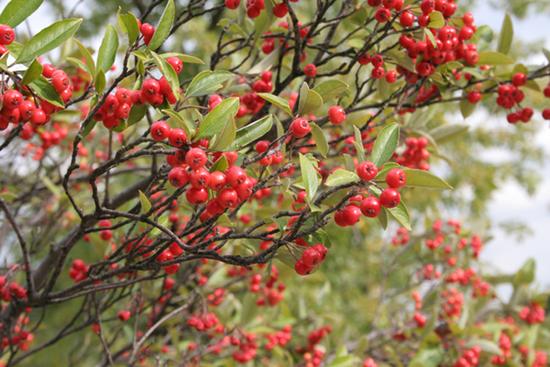 Size_550x415_redchokeberry