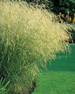 Size_550x415_scottishtuftedhairgrass