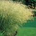 Scottish Tufted Hair Grass