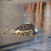 Sea Turtle Release after cold-stun rehabilitation