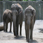 Save the Asian Elephant