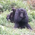 In Memory Of Mika, Alpha at Ngamba Island Chimpanzee Sanctuary