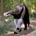 One of our giant anteaters looking for his next meal