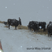 The snow covered the grass and feed for the cattle. Ranchers are trying to find the cattle and bring them feed