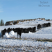 Cattle still had on their summer coats. Rain followed by snow dimissed their ability to keep warm in the blizzard