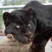 Black leopard Shazam loves lounging on his perch.