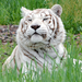 Sierra the tiger relaxes in the tall gras in her free-roaming habitat.