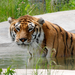 Lilly the tigress enjoys her pool.
