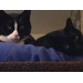 Capone (B&W) & Eve (Black). Capone battles diabetes. Donations help us purchase prescription food for cats like Capone.