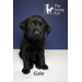 Gale, a black Labrador retriever puppy, is shown at 6 weeks. She's from Molly's litter, born in the aftermath of Sandy.