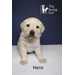 Hero, a yellow Labrador retriever puppy, is shown at 6 weeks. He's from Hettie's litter, born in the aftermath of Sandy