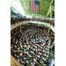 Lilyanne D - New Jersey Youth Symphony Orchestra