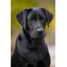 Gale is now a fully grown black Lab. She loves carrying her toys around the house and bringing them to greet visitors!