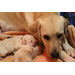 Hettie is shown with her litter of pups which includes Hero and his 5 siblings. They are all yellow Labs!