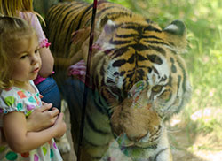 Size 550x415 vilaszoo girl with tiger