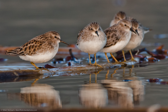Size 550x415 mikebaird%20flickr%202.least%20sandpiper