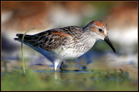 Size 550x415 winnu%20flickr%204.western%20sandpiper