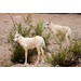 The 240th and 241st Arabian oryx calves born at the Phoenix Zoo since the Zoo began the breeding program in the 1960s.
