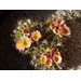 Desert is awesome~Simple beauty in such amazing cactus flowers!