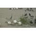 Pelican chicks May 2013
