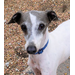Italian Greyhound Dog Rescue