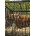 Zeus the tiger races to freedom, squeezing into the transport cage